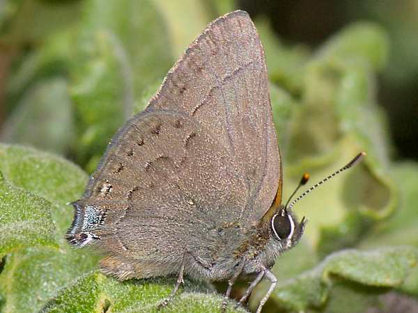 picture of a Mountain Mahogany Hairstreak