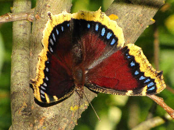 picture of a Mourning Cloak butterfly