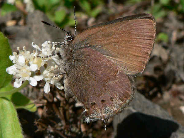 picture of a Nelsons Hairstreak butterfly