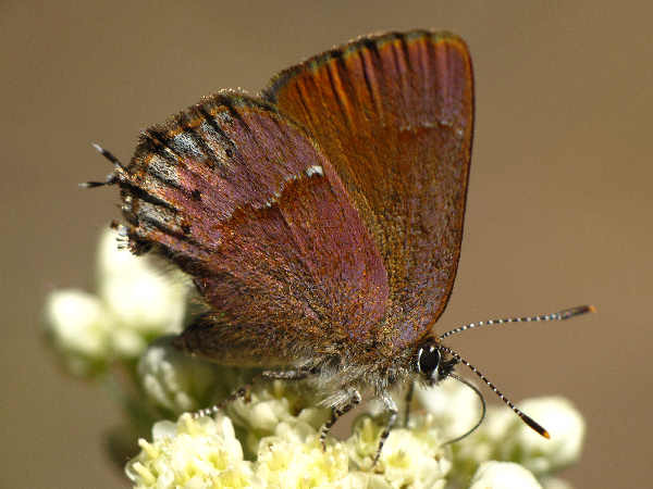 picture of a Nelsons Juniper Hairstreak
