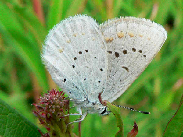 picture of a Northern blue butterfly