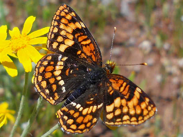 picture of a Northern Checkerspot butterfly, part of the Wyoming butterflies series