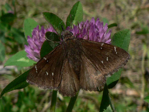 picture of a Northern Cloudywing butterfly
