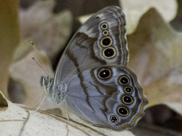 picture of a Northern Pearly-eye butterfly