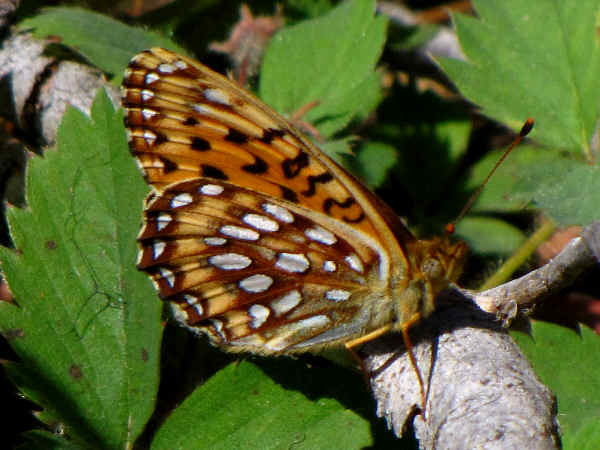 picture of a Northwestern Fritillary
