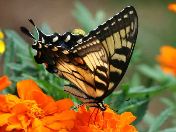 picture of an Old World Swallowtail