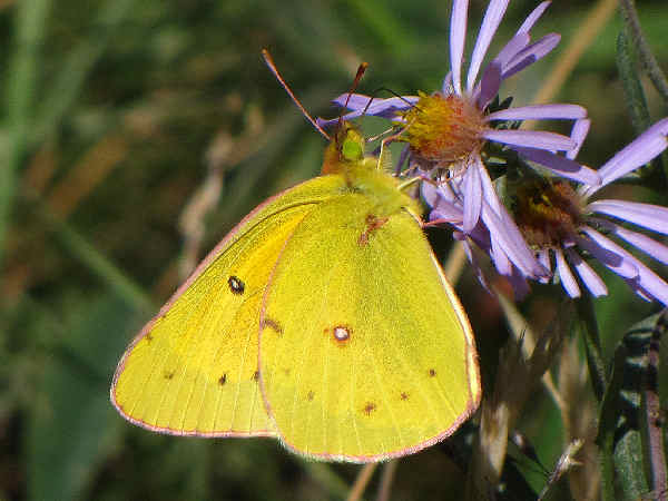 picture of an Orange Sulphur butterfly