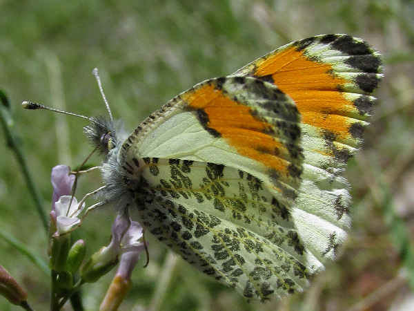 picture of an Orangetip butterfly, part of the Idaho butterflies series