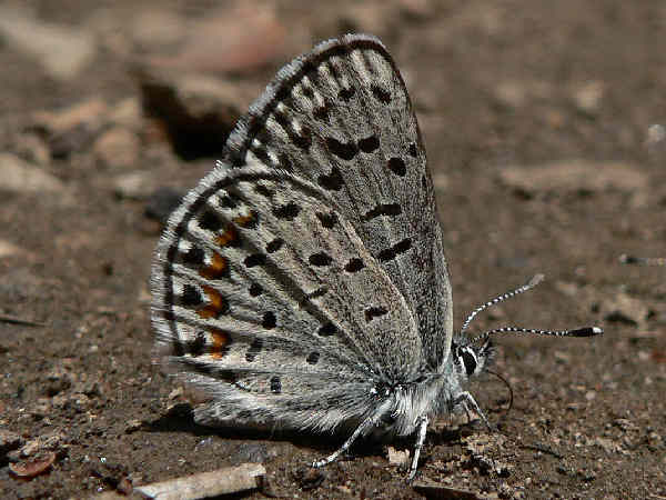 picture of a Pacific Dotted Blue butterfly, part of the Oregon butterflies collection