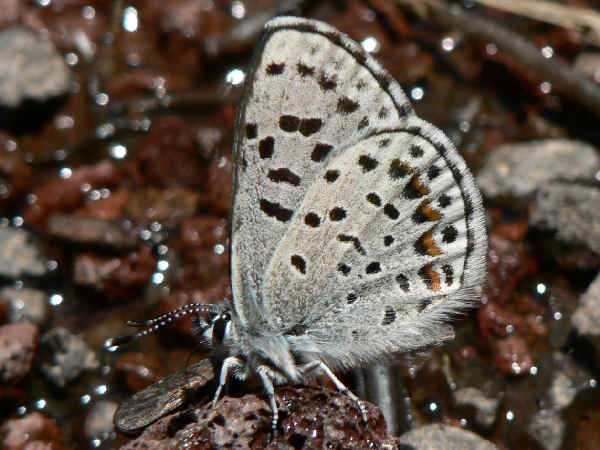 picture of Pacific Dotted Blue butterfly side view, part of the types of blue butterflies presentation
