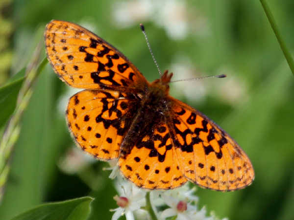 picture of a pacific fritillary butterfly
