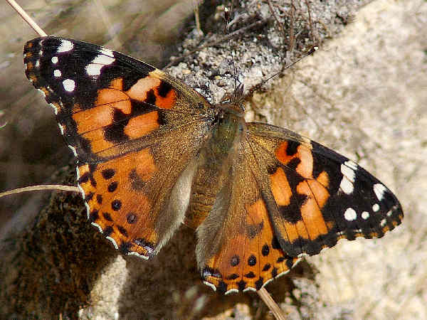 picture of a Painted Lady butterfly, part of the Nebraska butterflies collection