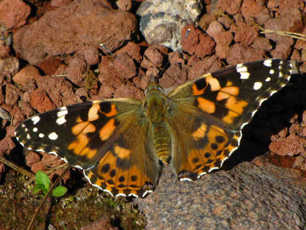 picture of a Painted Lady butterfly