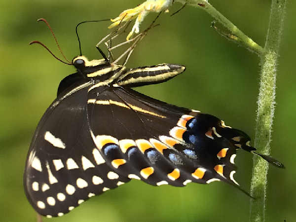 picture of a Palmedes Swallowtail butterfly: credit bill chitty flickr