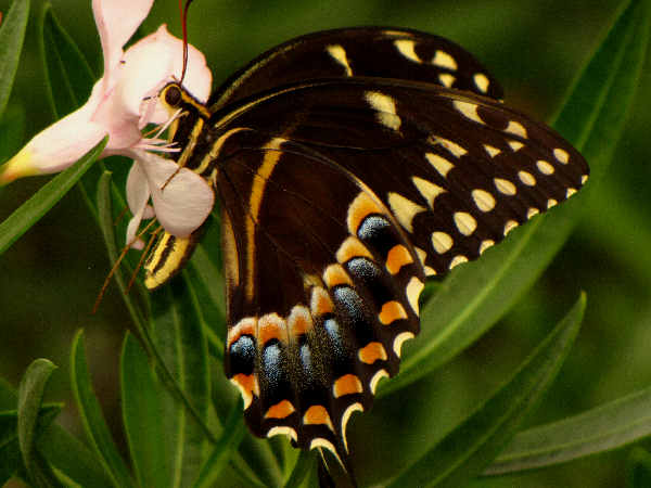 picture of a Palamedes Swallowtail Butterfly