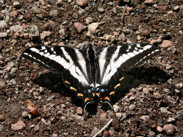 picture of a Pale Swallowtail butterfly
