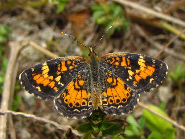 picture of a Pearl Crescent butterfly, part of the Iowa butterflies section