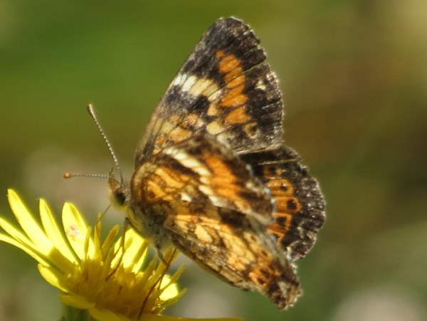 picture of a top view of a Phaon Crescent butterfly
