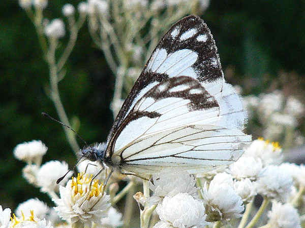 picture of a Pine White butterfly