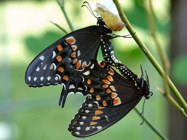 picture of a pair of Pipevine SwaSpicebush Swallowtails mating