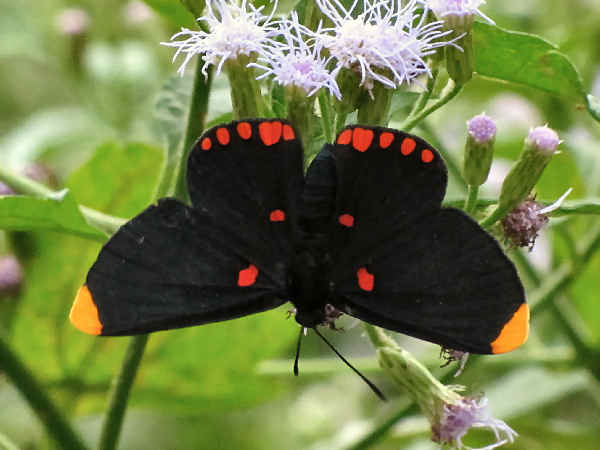 picture of a Red-bordered Pixie butterfly
