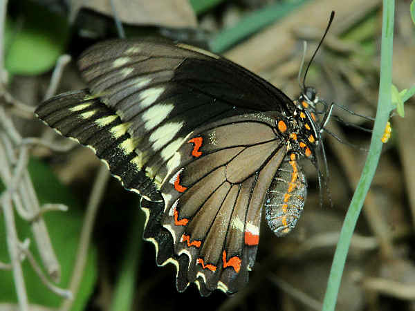 picture of a Polydamus Swallowtail butterfly