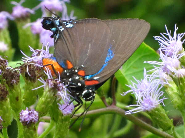 picture of a Great Purple Hairstreak