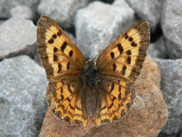 picture of a female Purplish Copper Butterfly