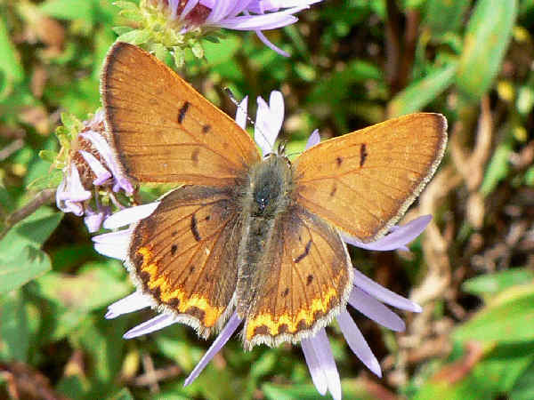 picture of a male purplish copper butterfly