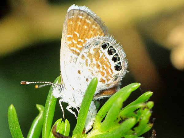 picture of a Pygmy Blue butterfly
