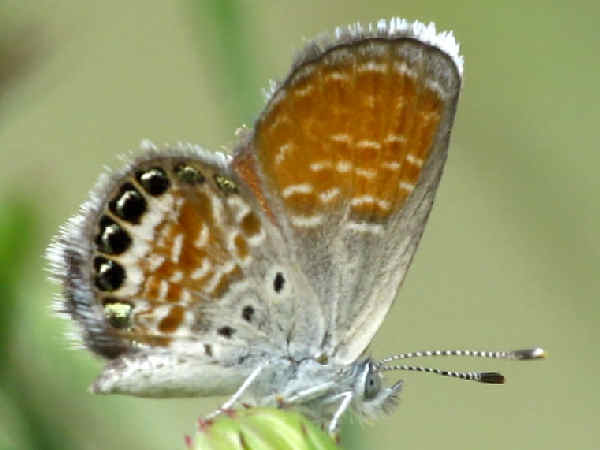 picture of a pygmy blue butterfly, part of the blue butterflies series