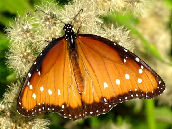 picture of a Queen butterfly