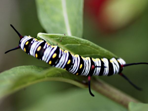 picture of a Queen butterfly caterpillar