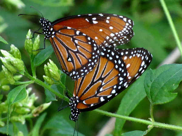 picture of a side view of a Queen butterfly