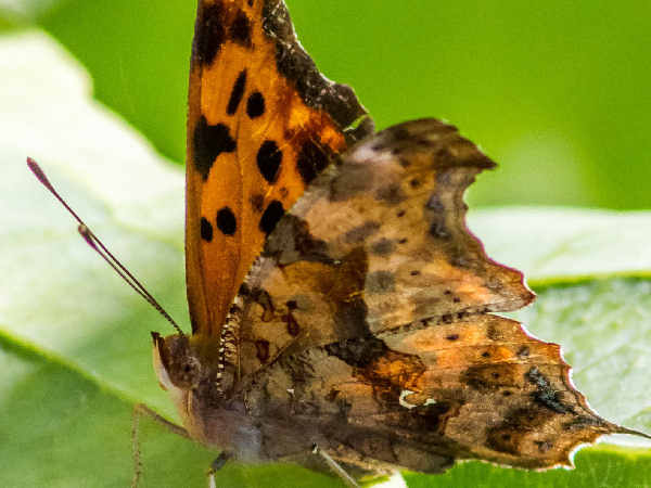 picture of a Question Mark butterfly, part of the New Jersey butterflies collection