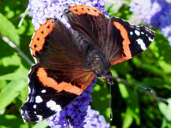 picture of a Red Admiral Butterfly, part of the Iowa butterflies section