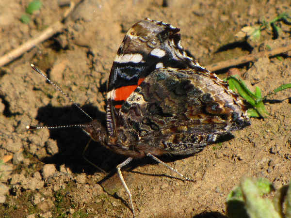 picture of a Red Admiral Butterfly, part of the Washington butterflies section