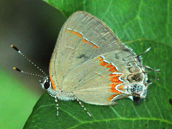 picture of a Red Banded Hairstreak butterfly