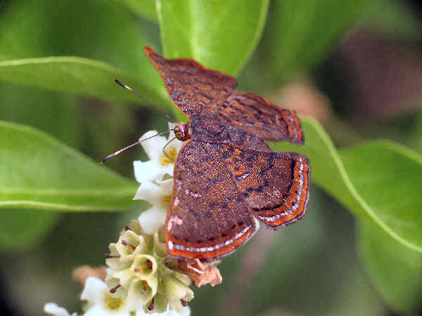 picture of a Red-bordered metalmark butterfly
