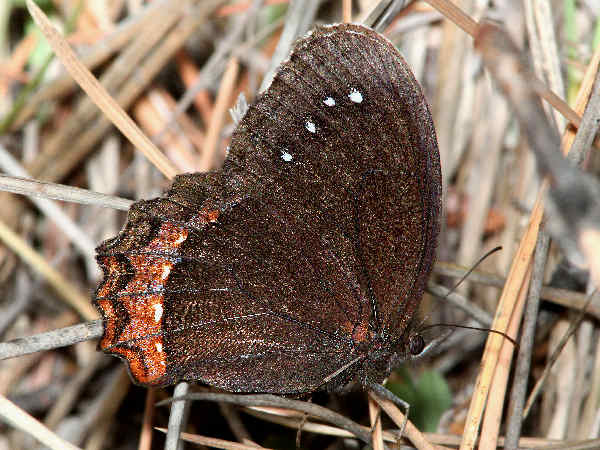 picture of a Red-bordered Satyr