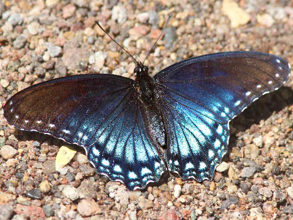picture of a Red-spotted Admiral, the official state butterfly of New York