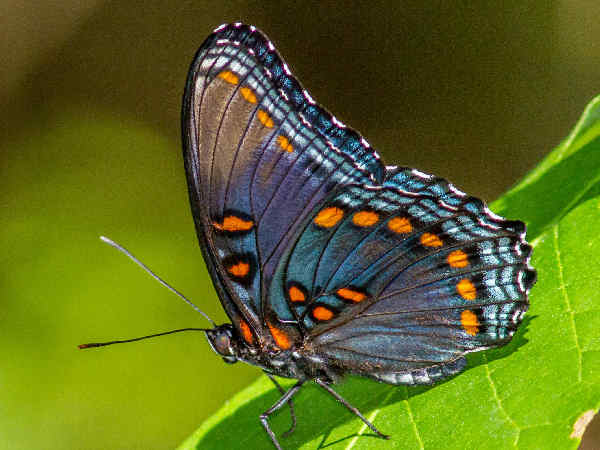 picture of a Red-spotted Purple butterfly
