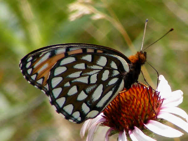 picture of a Regal Fritillary butterfly
