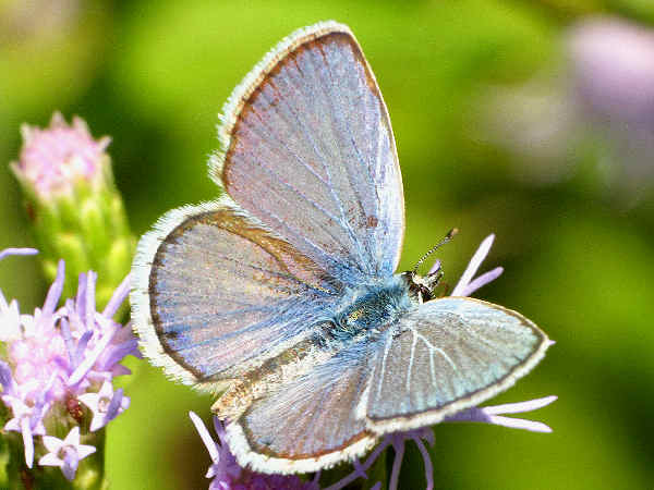 picture of a Rekirk's Blue butterfly