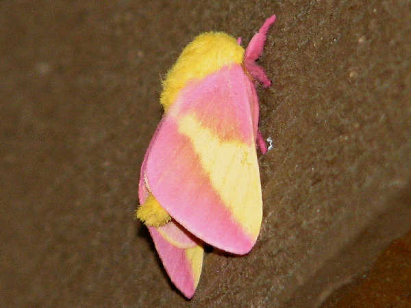 picture of a rosy maple moth