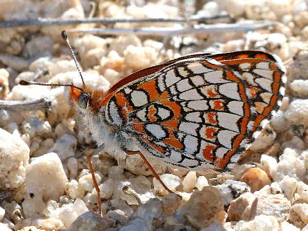 picture of a Sagebrush Checkerspot butterfly, part of the Colorado butterflies collection