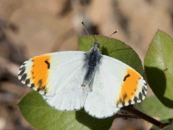picture of a Sara's Orangetip white butterfly