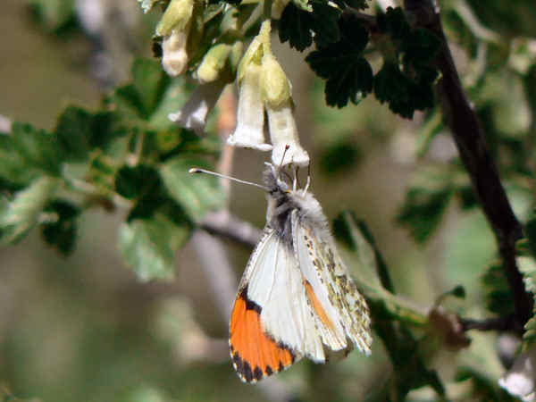 picture of a Pacific Orangetip