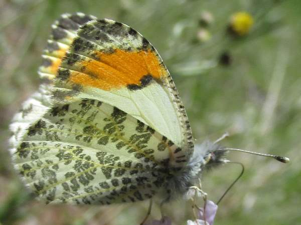picture of a Sara's Oragnetip butterfly part of the California butterflies section