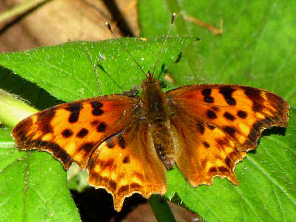 picture of a Satyr comma Butterfly, part of the New Hampshire Butterflies series